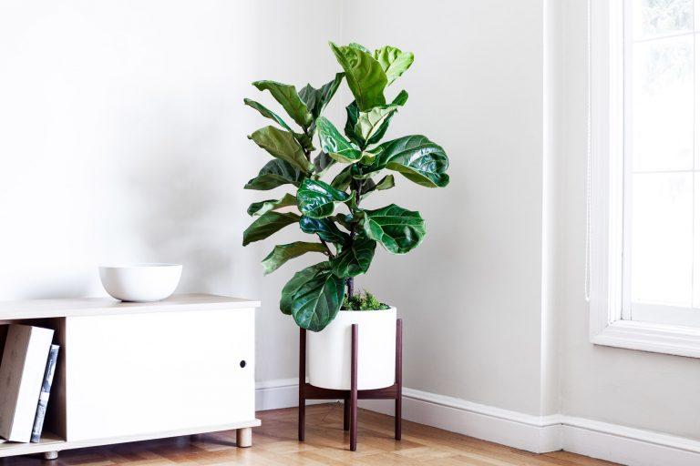 Guía de plantas: Ficus Lyrata