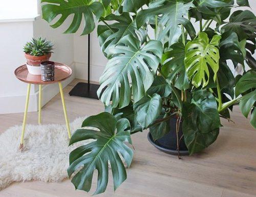 Guía de Plantas: Philodendro Monstera