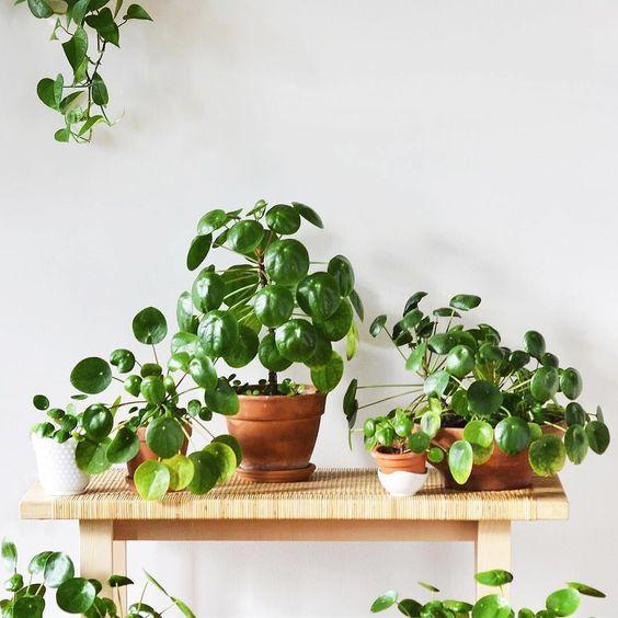 Guía de Plantas: Pilea Peperomioides