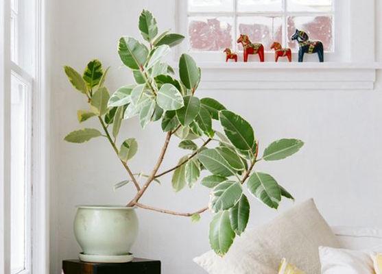 Guía de Plantas: Gomero