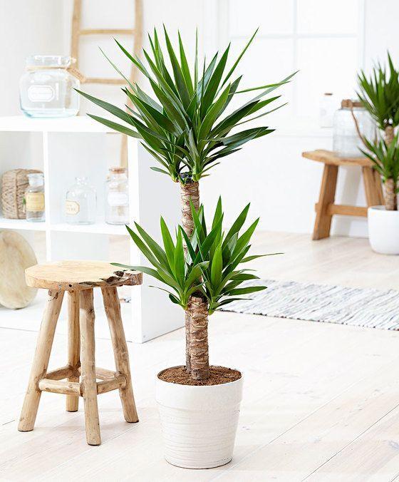 Guía de Plantas: Yuca