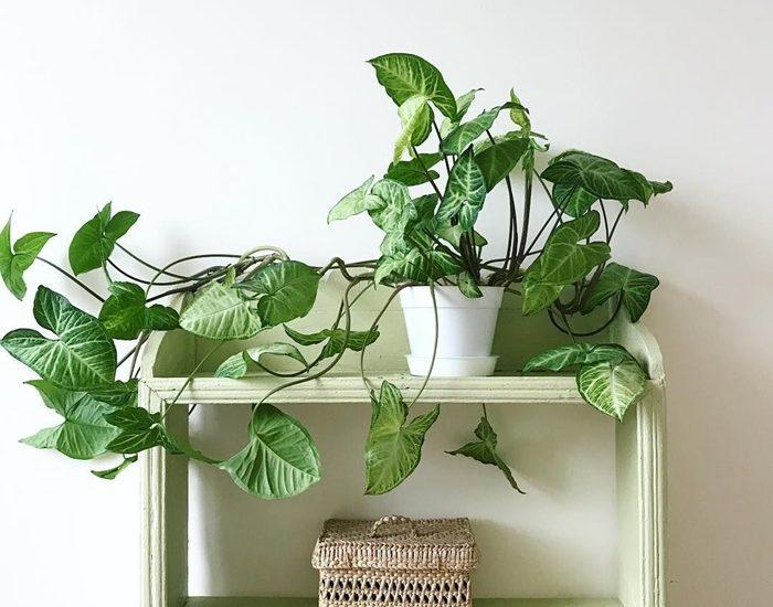 Guía de Plantas: Singonio